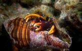 Hermite crab