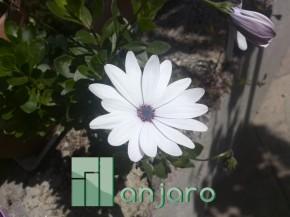 kristo_flower