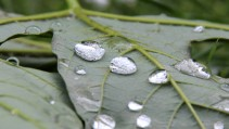 raindrops_on_a_maple_leaf_by_markus_rossel