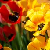 tulipbee