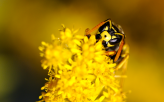 yellow_jacket_by_manuel_frei