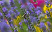 Bee_on_lavendar_by_Martin