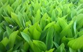 Lily_of_the_Valley_by_Robert_Slotte