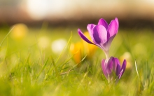 Crocus_Wallpaper_by_Roy_Tanck