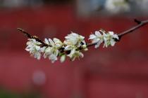 sezgin_cherry_blossoms