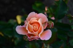 sezgin_rose
